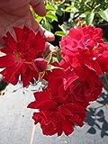 Bodendeckerrose Mainaufeuer® - Rosa Mainaufeuer® - Kleinstrauchrose - feuerrot - Kordes-Rose - Preis nach Stückzahl 5 Stück