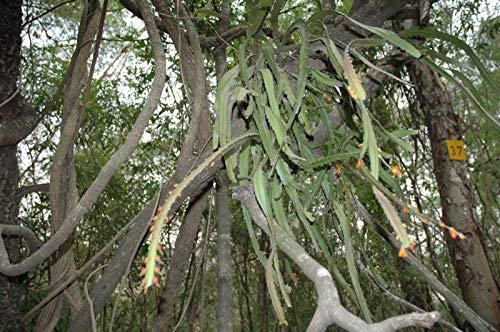 ScoutSeed 100+: Acanthorhipsalis monacantha-Samen - Lepismium monacanthum - Pfeiffera monacantha