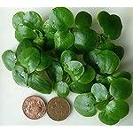 Proximus N1 Amazon Frogbit 10 X Mini Live Plants 5