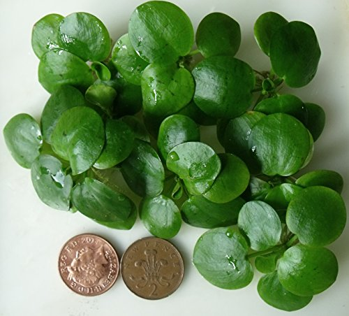 Proximus N1 Amazon Frogbit 10 X Mini Live Plants 1