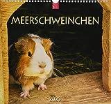 Meerschweinchen: Original Stürtz-Kalender 2020 - Mittelformat-Kalender 33 x 31 cm