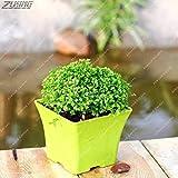 IDEA HIGH Seeds-ZLKING 200 PCS Die ältesten Landpflanzen Fern Bonsai Indoor Bonsai Wichtige Verschönerung Pharmazeutisch verträgliches essbares: 200Fern5