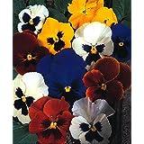 seekay PENSAMIENTO Suizo Gigante Mix - Viola wittrockiana - 800 Semillas Invierno Floración - Anuales &