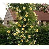 "Azalea Garden Rare 1 Rose Plant ROSE "" CLIMBING YELLOW ""fragrant rare New Season Rose Live Plant"