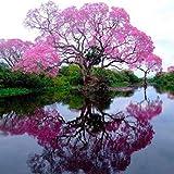 Cioler Blauglockenbaum Samen Paulownia Samen mit...