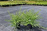 Kriechende Säckelblume, Kriechender kalifornischer Flieder - starke Pflanze im grossen 5lt Topf