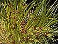 """FARMERLY Bin-Maxillaria tenuifolia- Super-Fragrant! Coconut Orchid! """"Wchst wie EIN!"""" by"""