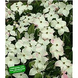 BALDUR-Garten Japanischer Blüten-Hartriegel, 1 Pflanze Cornus kousa winterhart