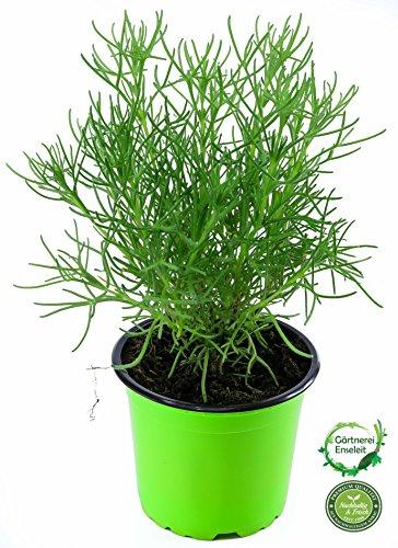 Gyros Kraut Pflanze ARTEMISIA CAUCASICA, Gyros-Beifuß, Teppich-Beifuss, Kräuter Pflanze