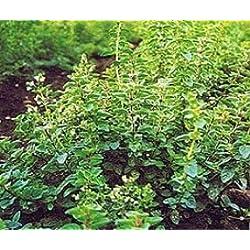 Bobby-Seeds Kräutersamen Oregano Portion