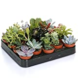 Succulent Mix - 20 Plants - House / Office Live Indoor Pot Plant - Ideal Gift