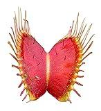 Venus-Fliegenfalle (Dionaea muscipula) 10 Samen (Fleischfressende Pflanze)