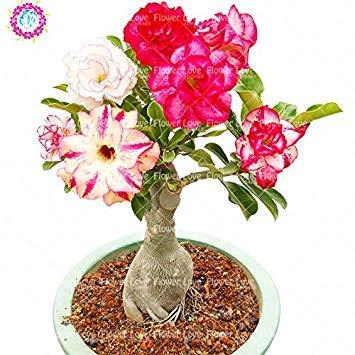 Rare double Pétales Desert Rose Graines, Adenium obesum Graines Bonsai Fleurs vivaces Graines Balcon Plante en pot Air purifiant