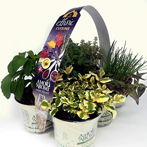 pianta aromatiche per cucina etnica (n. 12 vasi)