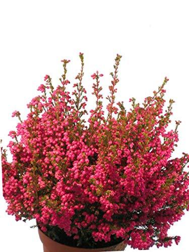 Glockenheide pink-rot