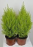 Cupressus Macrocarpa - Goldcrest - Lemon scented Conifer 10.5cm pots set of 6 (Live Plants)