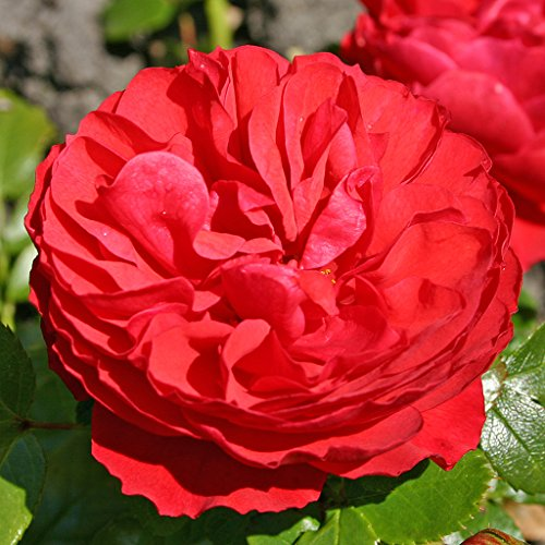 Kordes Rosen Cherry Girl Beetrose kirschrot 12 x 12 x 40 cm