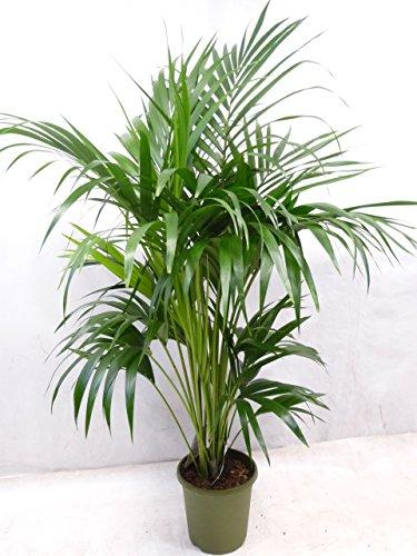 Howea forsteriana - Kentia Palme - 170 cm // Zimmerpflanze - dicht + buschig, absolutes Premium-Produkt