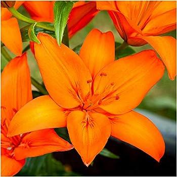 8a4682fe8 GARTHWAITE NURSERIES® : -12 Orange Ton (Orange) Asiatic Lily Bulbs Garden  Summer