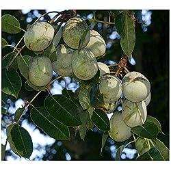 Sclerocarya birrea ssp caffra - Marula-Baum - Elefantenbaum - 3 Samen