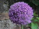 5 Riesen Allium Giganteum Zierlauch Blumenzwiebeln -