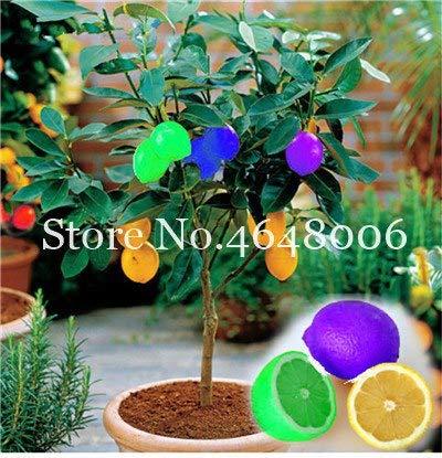 Bloom Green Co. 20 Stück Zitrone Bonsai New DrawF Baum Bio-Obst für Hausgarten liefert einfache Exotic Citrus Bonsai Topfbaum Fresh Anlage wachsen: 11 -