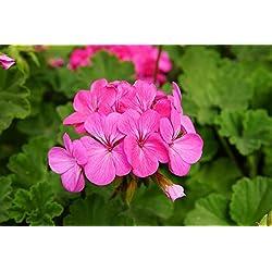 Rosa Geranien Samen - Pelargonium