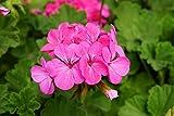 Semi di geranio rosa - Pelargonium