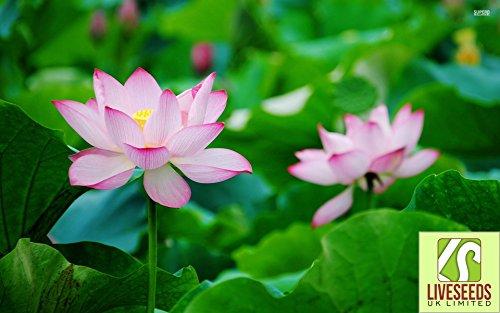 liveseeds-bonsai-lotus-lotus-pond-schssel-lilie-blume-pink-morgen-5-samen