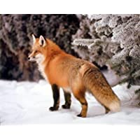 Red Fox in the Snow Alan Carey Wildlife Animal Art Print Poster (16x20) by