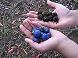#6: Rudraksha Tree Is A Large Evergreen Tree Seeds - 10 Seeds by Creative Farmer