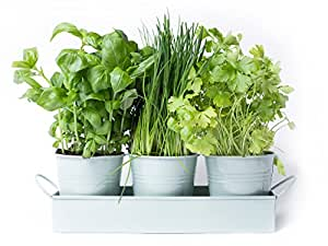 Dill Herb Pots On A Tray By Dill And Mint