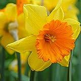 10 x Striking Tulip tarda bulbs (hardy and easy to grow)