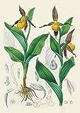 Carnet ligné Orchidée jaune, dessin 19e siècle
