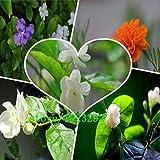 Jazmín Plantas De Interior - Best Reviews Guide