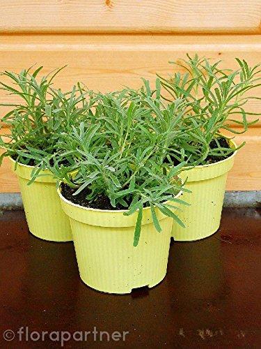 Curry Kraut Helichrysum augustifolia Kräuter Pflanzen 1stk.