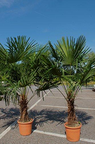 winterharte Palm 160-180cm–XXL hanfpalme -18°C trachycarpus fortunei palmen.