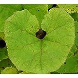 Blumixx Stauden Petasites hybridus - Gewöhnliche Pestwurz
