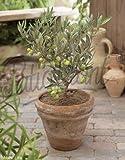 Olivenbaum 15 - 180 cm - Olea europaea essbare Oliven (15 cm)