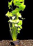 Zoomeister - 1 Topf Mini Seerose Taiwan Flipper (Nymphoides sp. taiwan flipper)