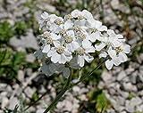 PLAT FIRM GERMINATIONSAMEN: 20 Achillea clavennae-Samen, silberne Schafgarbe-Samen