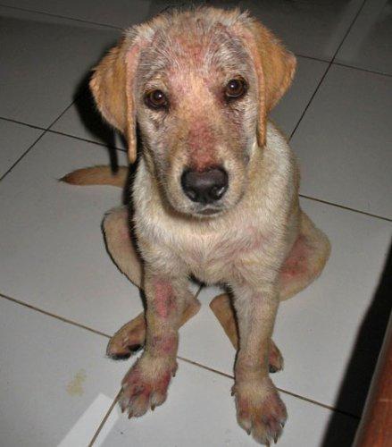 Caniderm-V, Nahrungsergänzung, für Hunde, bei Hautproblemen, Milben, Ekzemen, Allergien (Einzelpackung) - 2