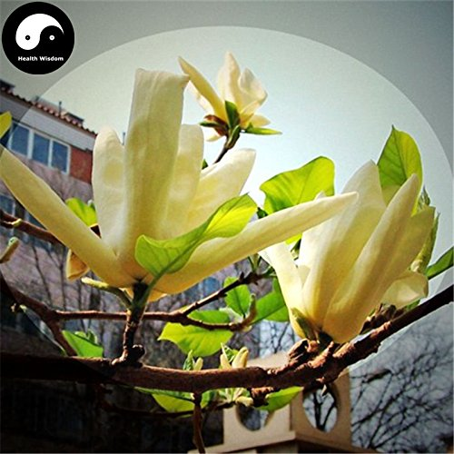 Kaufen Echt Michelia Champaca Baumsamen 60pcs Pflanze Gelb Magnolia Grandi wachsen süße Huang Yu Lan