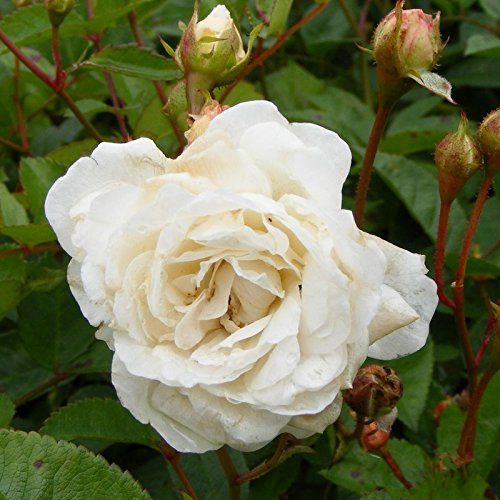 Rosa 'The Fairy White' - Rosier paysager blanc double
