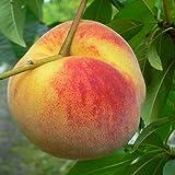 Pfirsichbaum Wunder von Perm, frostharter Pfirsich Buschbaum 120-150 cm 10 Liter Topf Prunus pumila