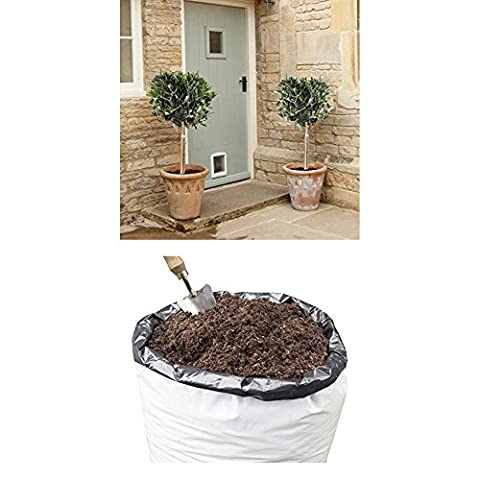 Pair of Hardy Standard Olive Tree and 80 L Compost for planting outdoors