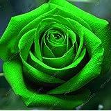 Semillas 20pcs Rose verde hermosas semillas de flor rara semilla Rose Bonsai plantas Semillas para DIY Hogar y Jardín Siembra