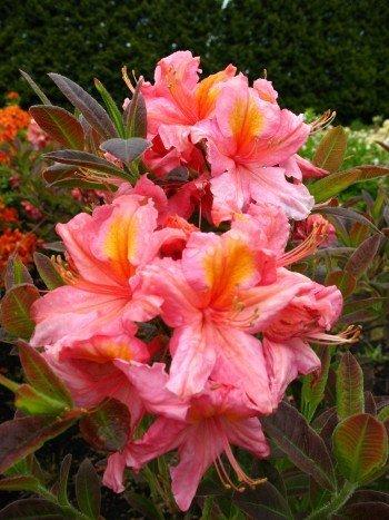 rosa mit gelbem Fleck blühende Garten Azalee Rhododendron luteum Berryrose 40 cm hoch im 3 Liter Pflanzcontainer