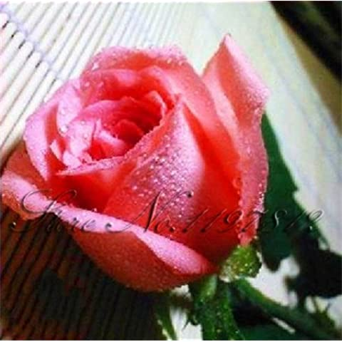 mixtos 200 semillas / bolsa de Rose del arco iris semillas, cuatro estaciones de siembra, flores perennes, fácil de planta, jardín planta en maceta