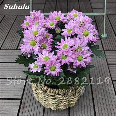 120 pcs graines graines de fleurs Daisy strawberry marguerite, fleurs de saison graines chrysanthème, Bonasi beau balcon fleuri coloré 11